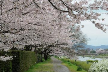 京都桜紀行2012(14)