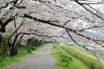 京都桜紀行2012(15)