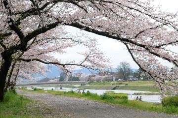 京都桜紀行2012(16)