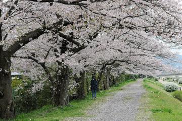 京都桜紀行2012(17)