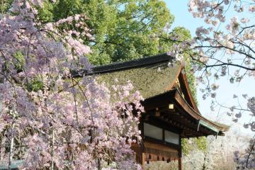 京都桜紀行2012(19)