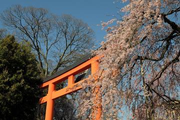 京都桜紀行2012(20)
