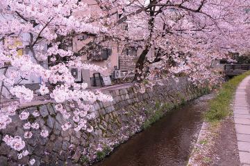 京都桜紀行2012(28)