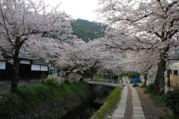 京都桜紀行2012(29)