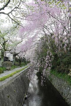 京都桜紀行2012(33)
