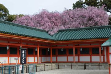 京都桜紀行2012(35)