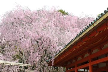 京都桜紀行2012(36)