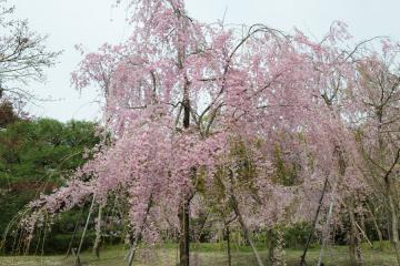 京都桜紀行2012(37)