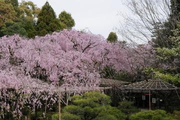 京都桜紀行2012(38)