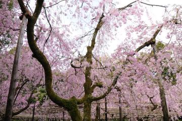 京都桜紀行2012(32)