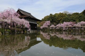 京都桜紀行2012(53)