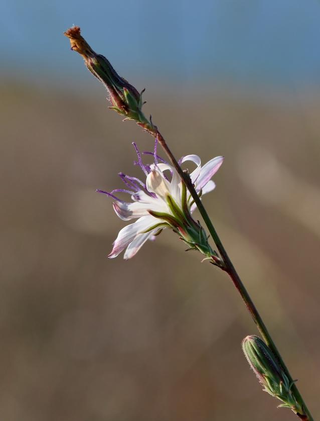 Stephanomeria virgata-05