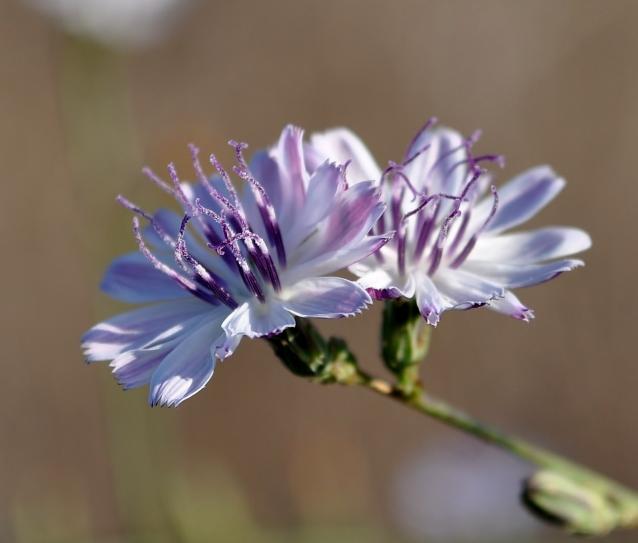 Stephanomeria virgata-03