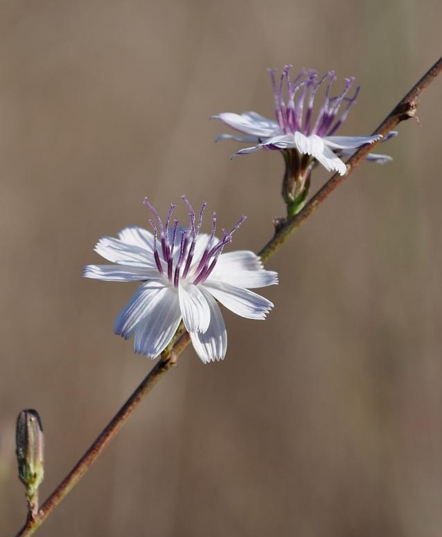 Stephanomeria virgata-04