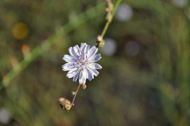 Stephanomeria virgata-02