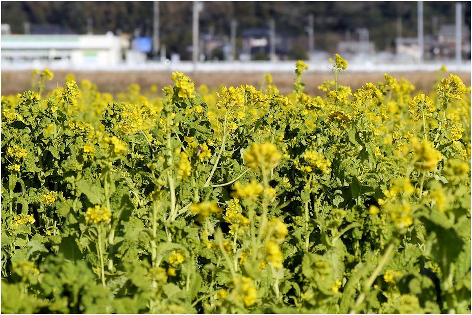 2014年12月菜の花畑