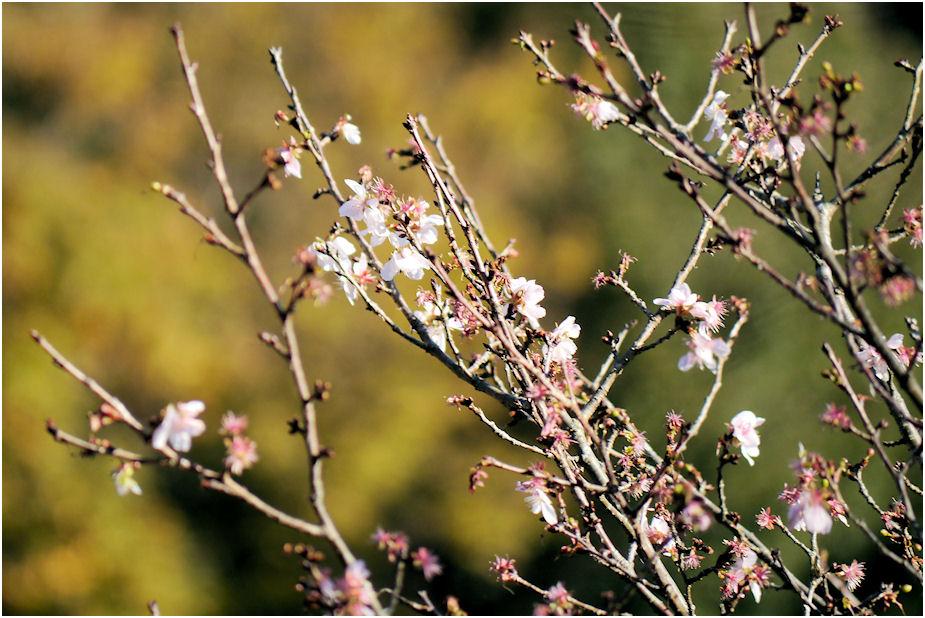 不時現象 桜