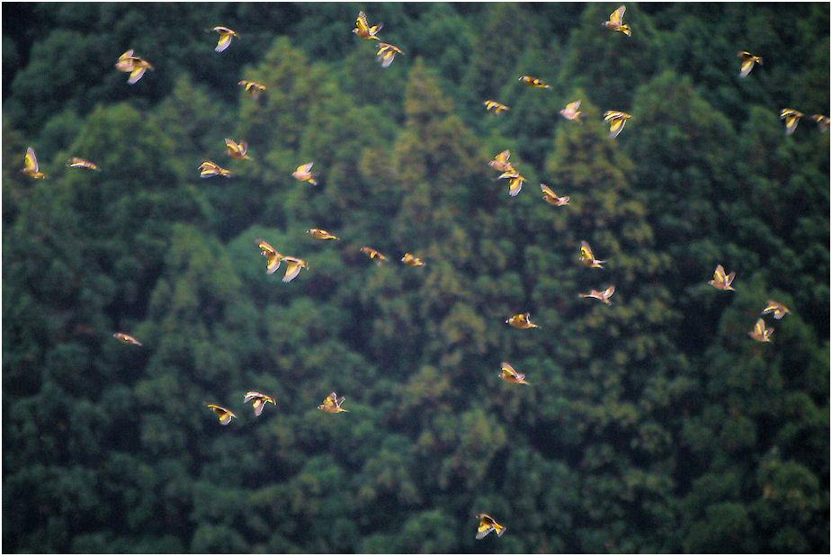 群れ飛ぶカワラヒワ