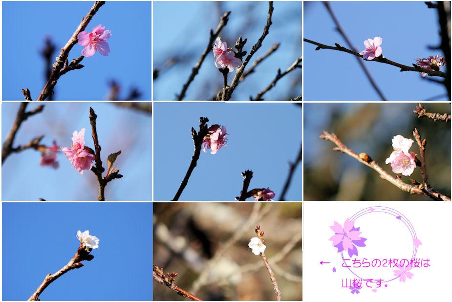 狂い咲き桜