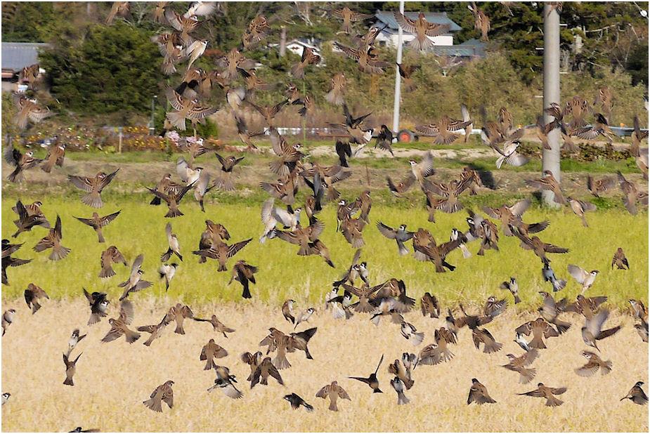 群れ飛ぶスズメ