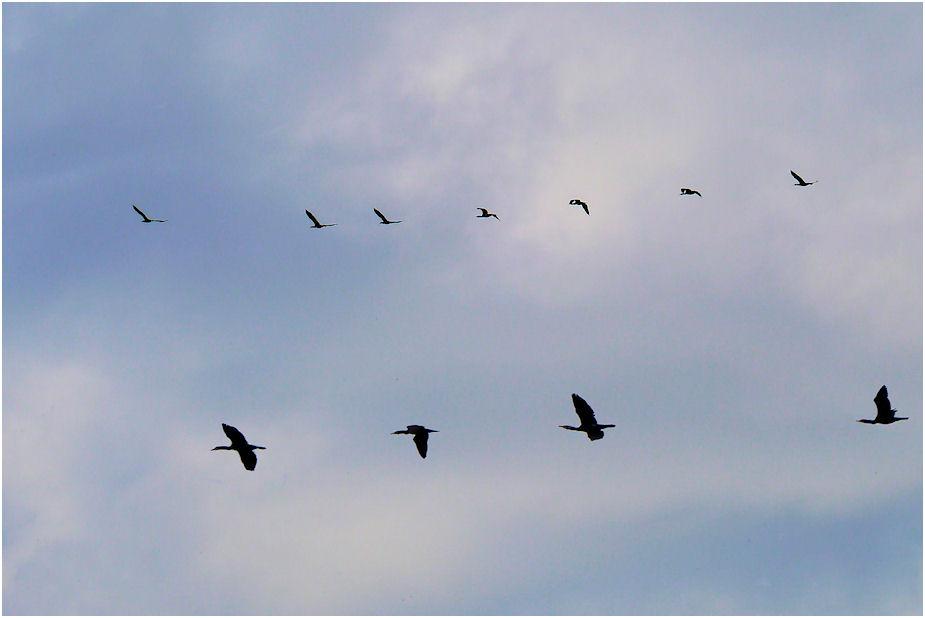 群れ飛ぶ鵜