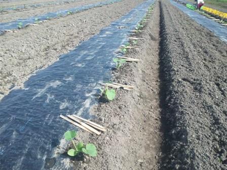 カボチャの苗 定植