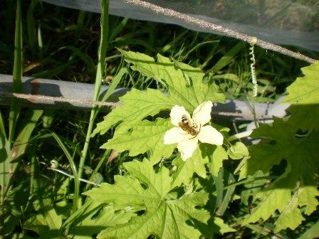 白ゴーヤの花