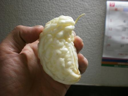 マイクロサイズの白ゴーヤ