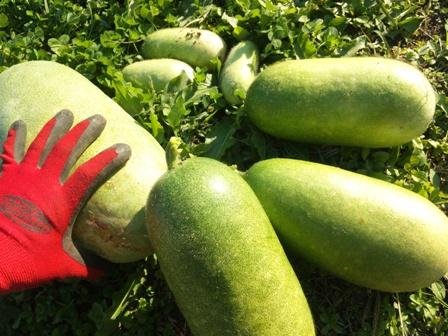 こぼれ種野菜