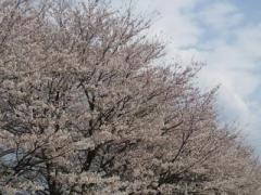 sakura_convert_20120407150311.jpg