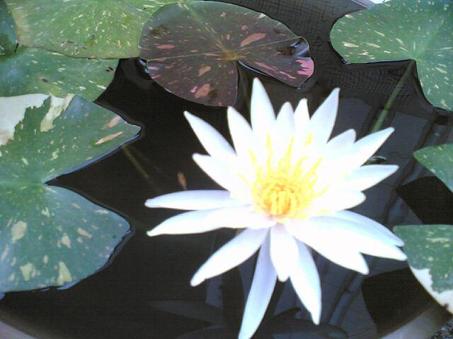 20110619 Lotus Flower
