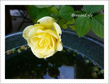 minirose1401.jpg