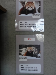 札幌市円山動物園 レッサーパンダ