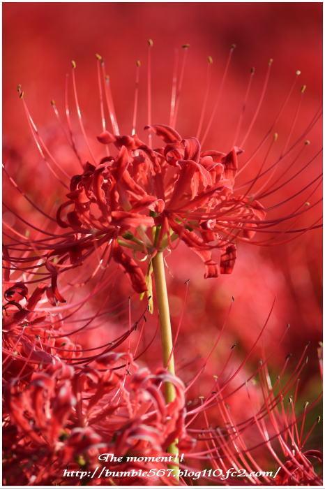 higanbana red