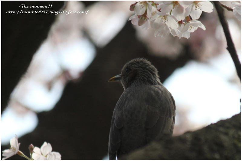 桜とムクドリ2