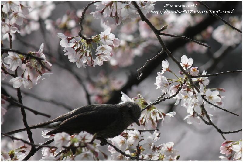 桜とムクドリ3