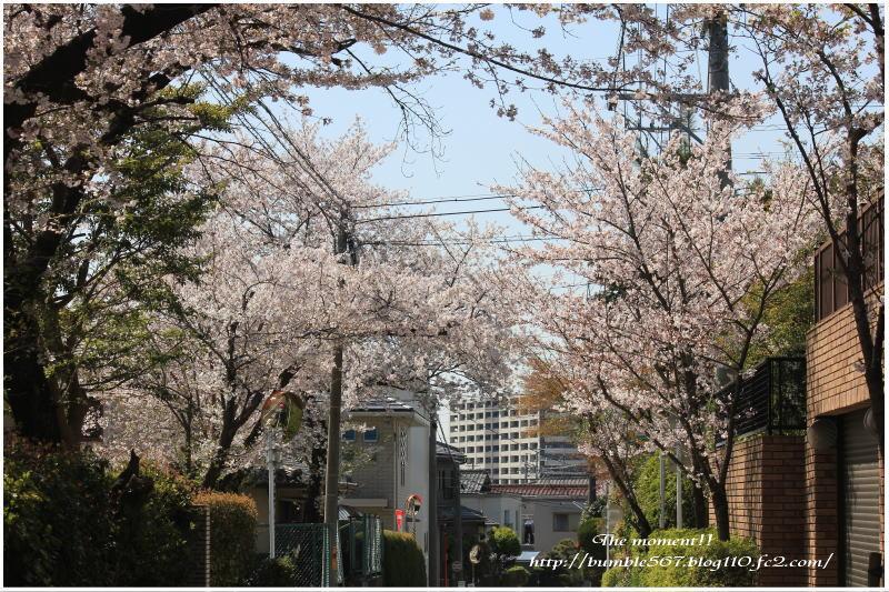 散りゆく桜1