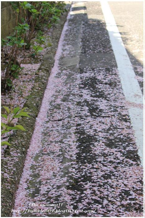 散りゆく桜2