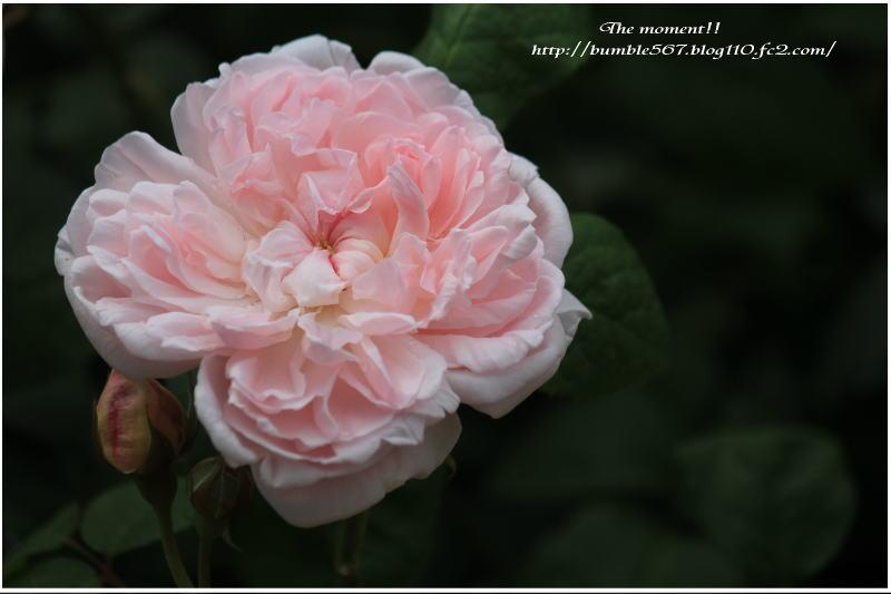 rose nabana
