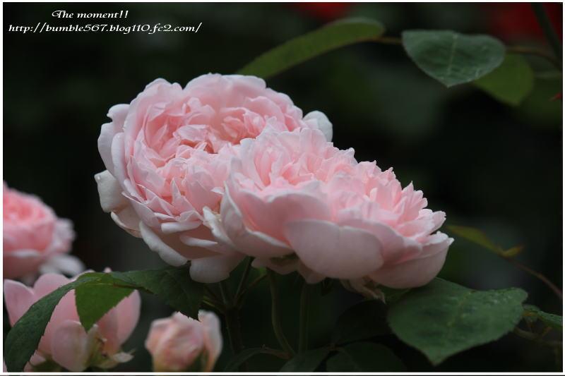 rose nabana1