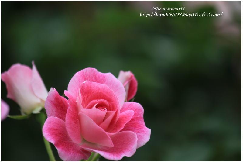 rose nabana012