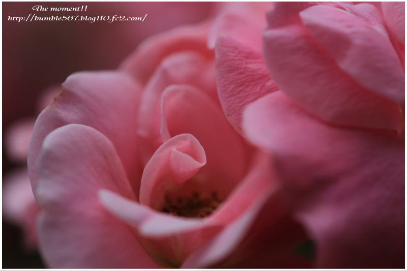 rose p2
