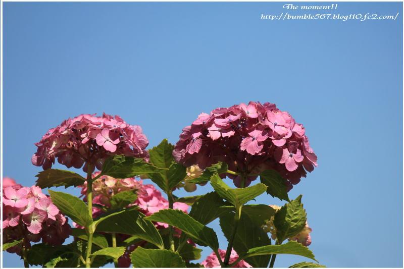 紫陽花ピンク1