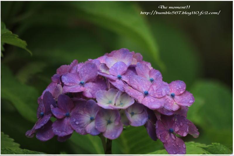紫陽花 雨上がり
