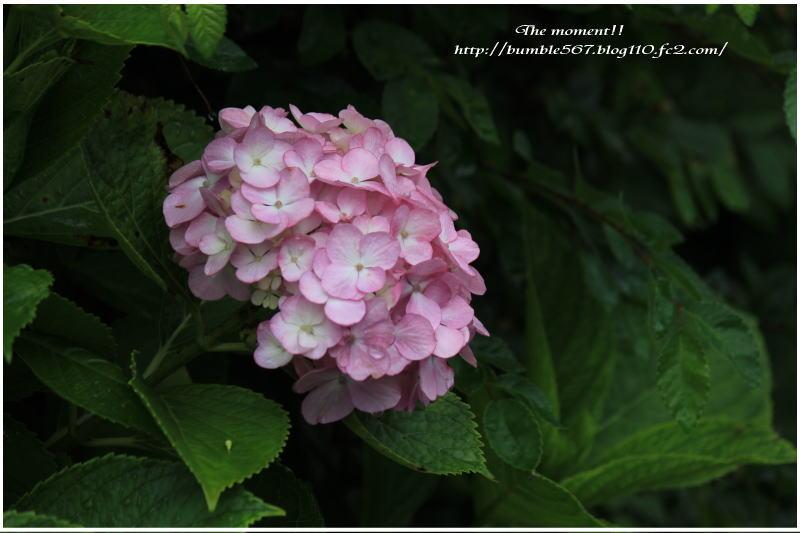 紫陽花 雨上がり1