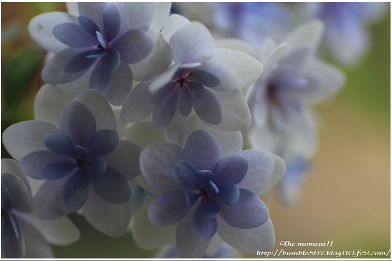 紫陽花 星の花火3
