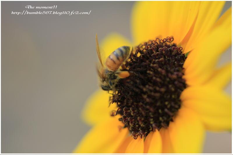 蜂とヒマワリ