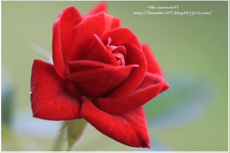 red rose1