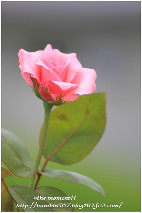 rose4.jpg