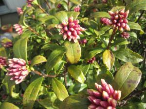 1.沈丁花